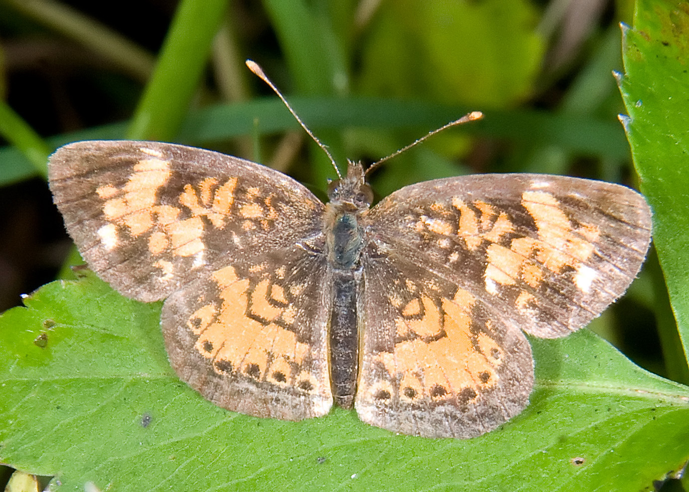 Pearl Crescent (Phyciodes tharos) Female