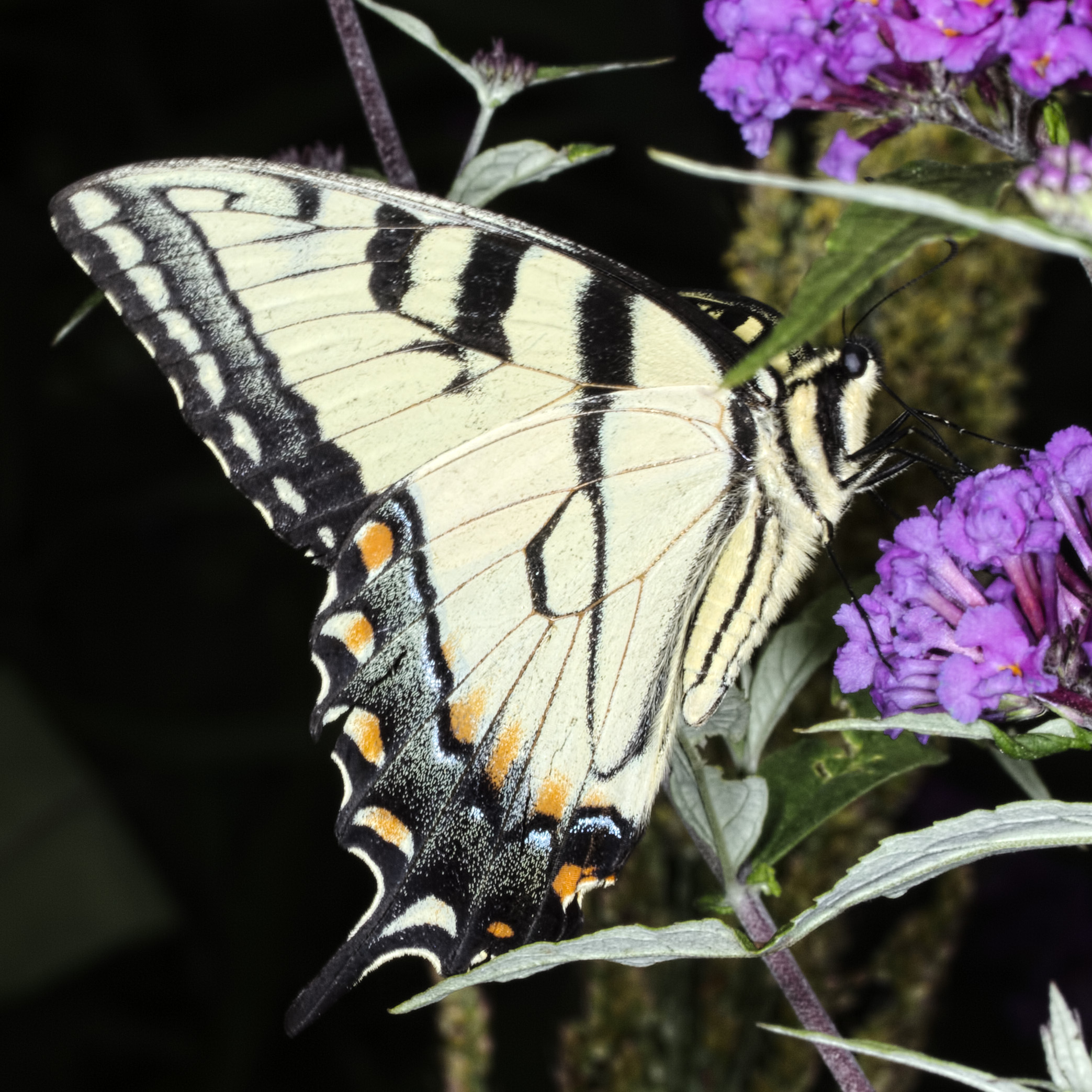 Eastern Tiger Swallowtail (Papilio glaucus) Male Underside
